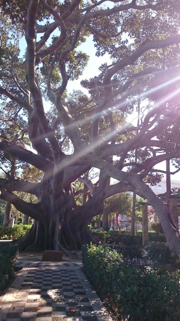 Tree in Alameda Apodaca, Cádiz